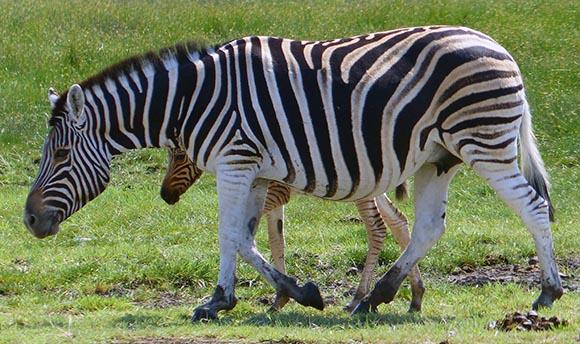 Mama Zebra and Baby, Etosha National Park