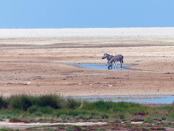 Zebra on the Etosha Pan, Etosha National Park