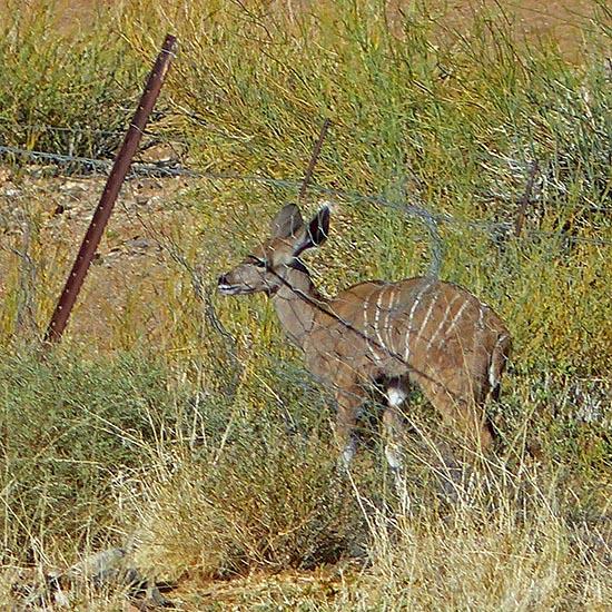 Kudu baby behind fence, Namibia