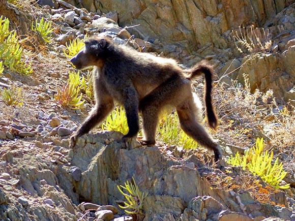 Chacma Baboon, Namibia