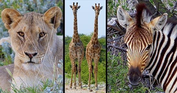 Africa Journal: Lions, Giraffes, Zebra, and more