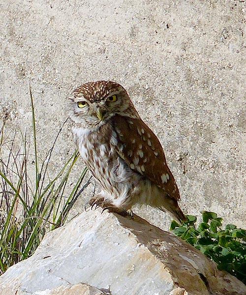 Little Owl on Leros, Greece - Jen Funk Weber