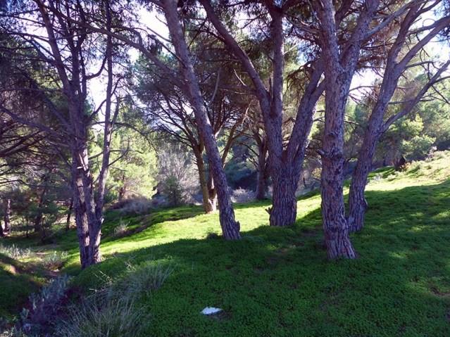 Pine trees on Leros - Jen Funk Weber