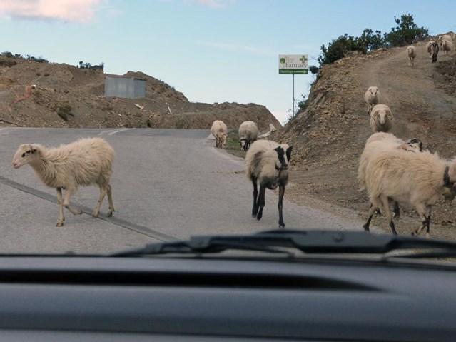 Goats on the road, driving on Crete - Jen Funk Weber