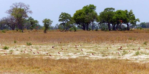Carmine bee-eater nesting area, Okavango Delta, Botswana, Jen Funk Weber
