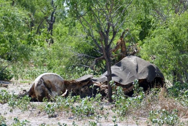 Dead elephant along the road, whole
