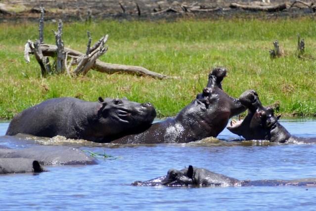Hippos, Khwai River, Botswana
