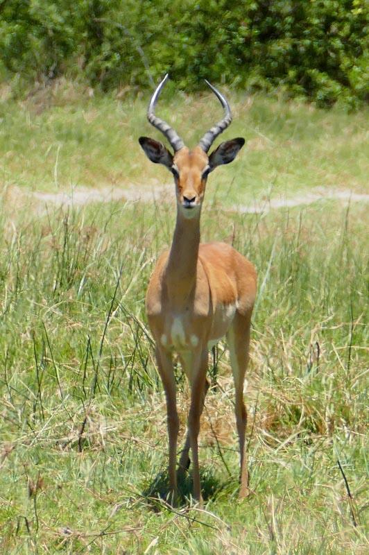 Impala individual, Botswana