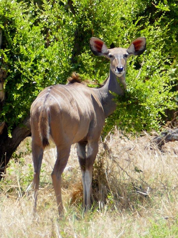 Kudu at the Khwai River, Botswana