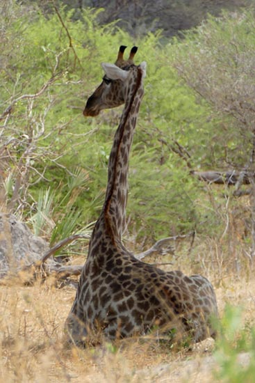 Sitting giraffe, South Gate Road, Botswana