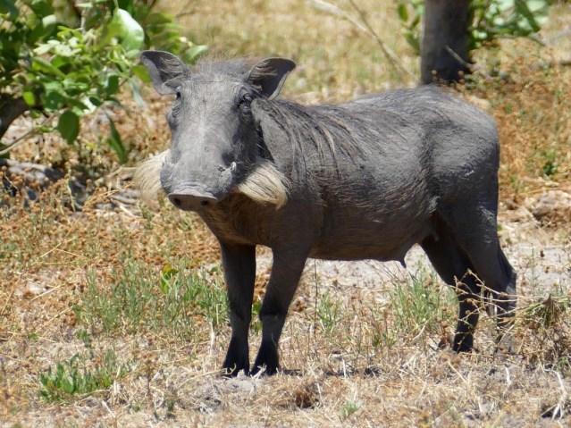 Warthog, Botswana