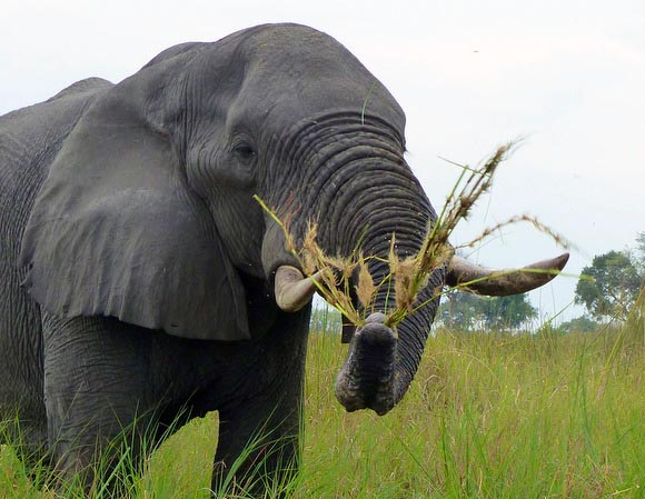Elephant swinging grass, Boro River, Okavango Delta, Botswana