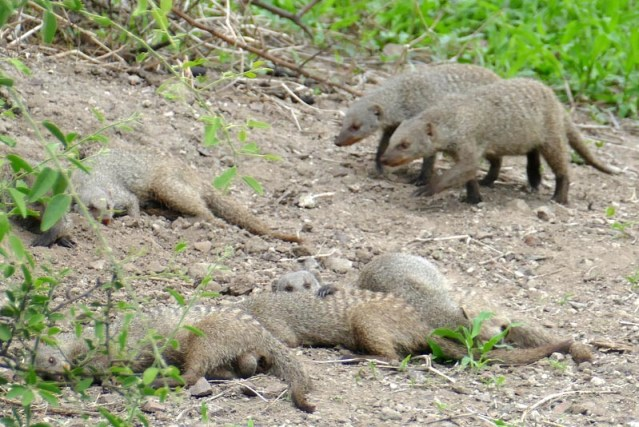 Banded mongoose family, Chobe National Park, Botswana