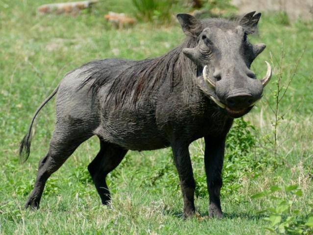 Beautiful warthog, Chobe riverfront, Botswana