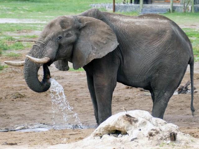 Elephant who sprang a leak, Elephant Sands, Botswana