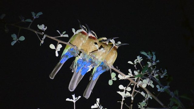 Four white-fronted bee-eaters roosting at night, Okavango River, Botswana