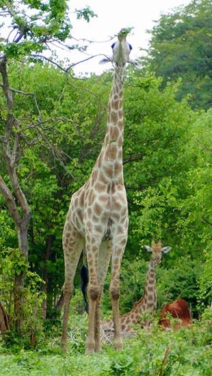 Giraffe standing, giraffe sitting, Chobe National Park, Botswana