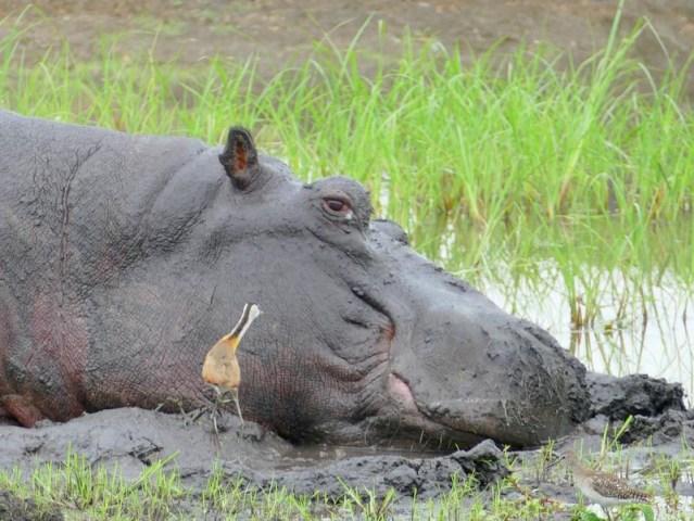 Jacana and hippo, Chobe National Park, Botswana