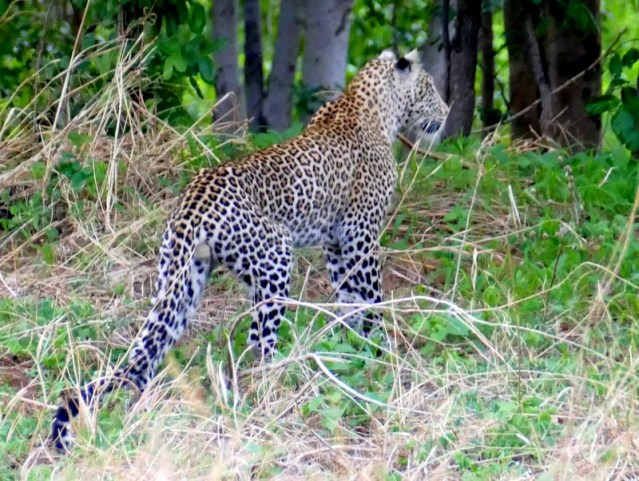 Muchenje leopard, Botswana