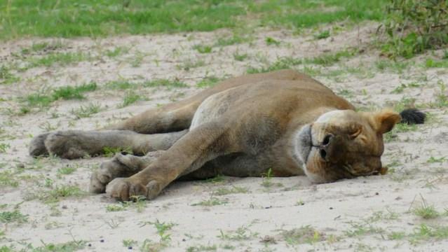 Snoozing lioness, Chobe National Park, Botswana