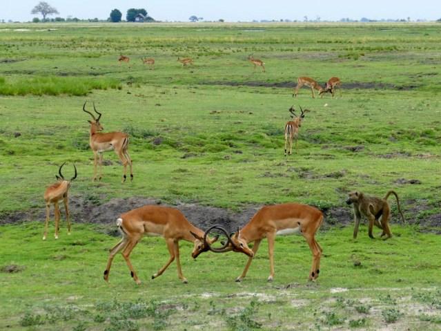 Sparring impala, Chobe National Park, Botswana