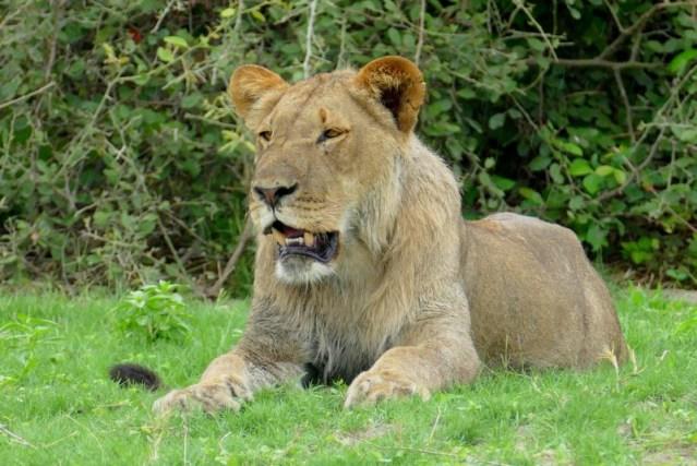 Young male lion, Chobe National Park, Botswana