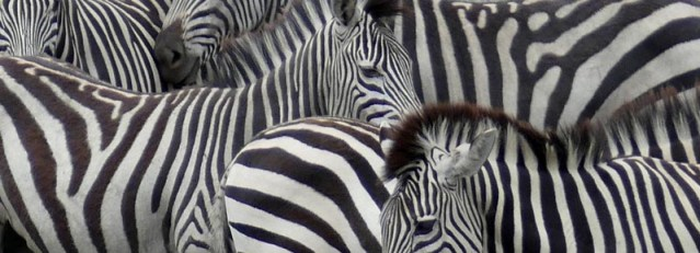 Zebra stripes, Chobe National Park, Botswana