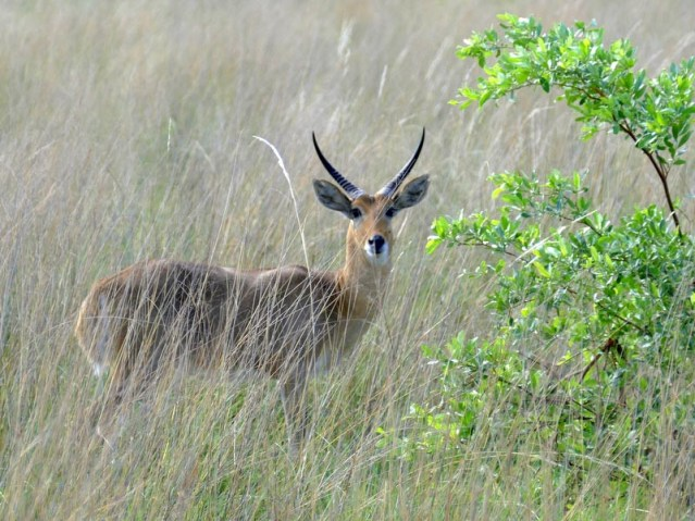 Reedbuck, Mahango, Bwabwata National Park, Namibia