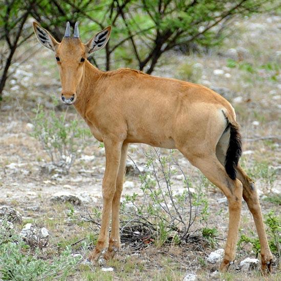 Hartebeest baby, Africa