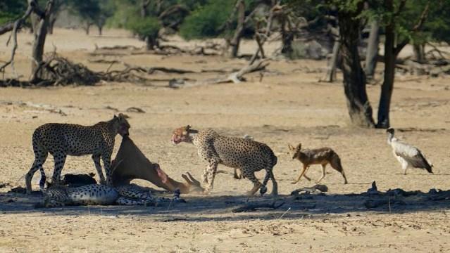Cheetahs dragging springbok carcass into shade, Kgalagadi Transfrontier Park, photo by Mike Weber