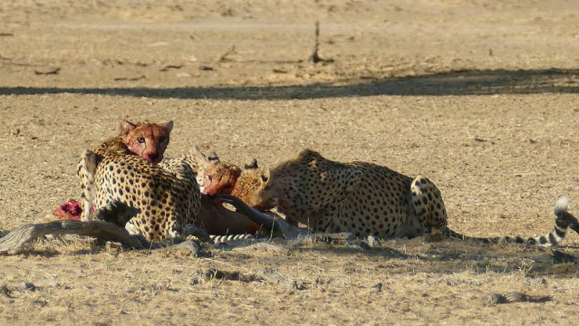 Cheetahs on springbok kill, Kgalagadi Transfrontier Park, photo by Mike Weber