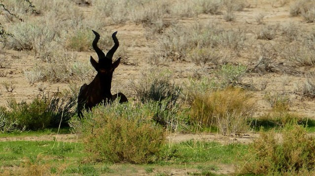 Hartebeest silhouette, Kgalagadi Transfrontier Park, photo by Mike Weber