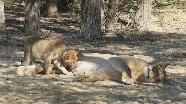 Lion cub nursing, Kgalagadi Transfrontier Park, photo by Mike Weber