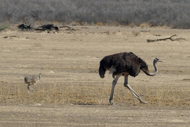 Ostrich adult and chick, Kgalagadi Transfrontier Park, photo by Mike Weber