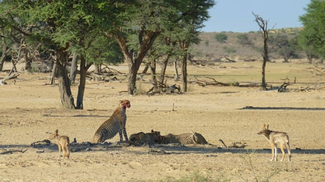 Second jackal puts pressure on first, Kgalagadi Transfrontier Park, photo by Mike Weber