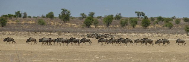 Wildebeest parade, Kgalagadi Transfrontier Park, photo by Mike Weber