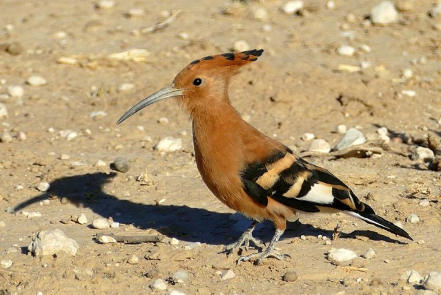 African hoopoe, Kgalagadi Transfrontier Park, photo by Mike Weber