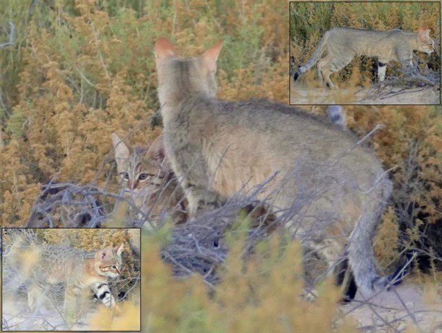 African wildcat, Kgalagadi Transfrontier Park, photos by Mike Weber