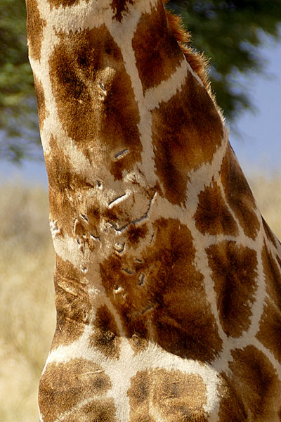 Battle-scarred giraffe, Kgalagadi Transfrontier Park, photo by Mike Weber, Jen Funk Weber