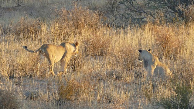 Campsite lions, moving on - Kgalagadi Transfrontier Park, photo by Mike Weber