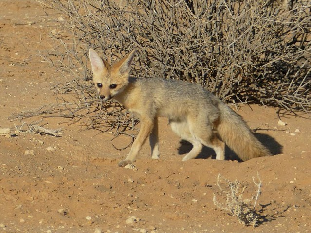 Cape fox kit at den, Kgalagadi Transfrontier Park, photo by Mike Weber