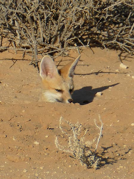 Cape fox kit in den, Kgalagadi Transfrontier Park, photo by Mike Weber