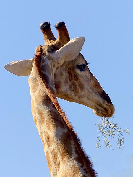 Giraffe, Kgalagadi Transfrontier Park, photo by Mike Weber