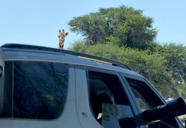 Giraffe discovers lions at waterhole, Kgalagadi Transfrontier Park, photo by Mike Weber, Jen Funk Weber