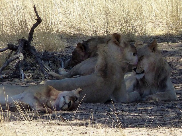 Lion brothers licking faces, Kgalagadi Transfrontier Park, photo by Mike Weber, Jen Funk Weber