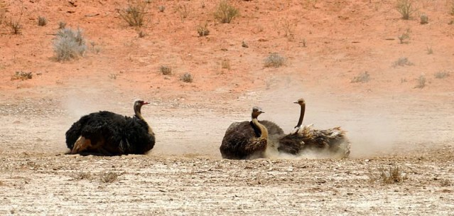 Ostriches dust bathing, Kgalagadi Transfrontier Park, photo by Mike Weber