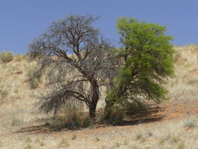 Half-and-half tree, Kgalagadi Transfrontier Park, photo by Mike Weber, Jen Funk Weber