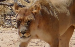 Lion Safari Story