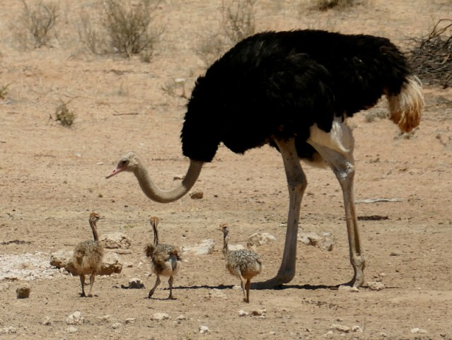Male ostrich with chicks, Kgalagadi Transfrontier Park, photo by Mike Weber, Jen Funk Weber