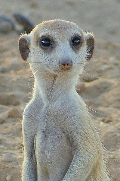 Meerkat (suricate) glamour shot, Kgalagadi Transfrontier Park, by Mike Weber, Jen Funk Weber